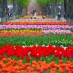 Пан тюльпан!!! (Кропивницький)- 24.04.21